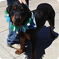 Adopt A Pet :: Brado- Pure ! - Chandler, IN