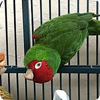 Adopt A Pet :: Scarlett - Punta Gorda, FL