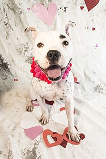 Boxer/Dalmatian Mix Dog for adoption in Auburn, California - Louis
