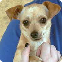 Chihuahua Mix Puppy for adoption in Palmdale, California - Jedi