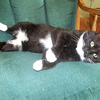 Domestic Shorthair Cat for adoption in Gaithersburg, Maryland - Drifter