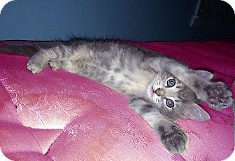 Domestic Shorthair Kitten for adoption in Atlanta, Georgia - Tinky