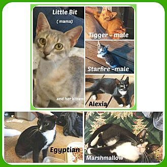 American Shorthair Cat for adoption in Malvern, Arkansas - CATS /KITTENS- ALL KINDS/COLOR