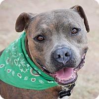 Adopt A Pet :: Sergeant Major - Gilbert, AZ