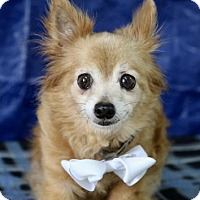 Pomeranian Dog for adoption in Picayune, Mississippi - Ted