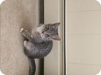 Domestic Shorthair Cat for adoption in North Wilkesboro, North Carolina - Alex