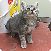 Adopt A Pet :: Mist - Tioga, PA