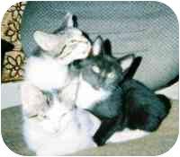 Domestic Shorthair Kitten for adoption in cincinnati, Ohio - Zoey's kittens