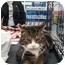 Photo 2 - Domestic Shorthair Cat for adoption in Sterling Hgts, Michigan - Jasper