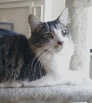 Domestic Mediumhair Cat for adoption in Alameda, California - Homer
