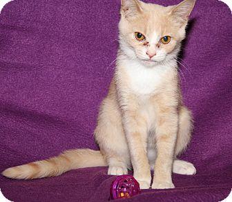 Domestic Shorthair Cat for adoption in Marietta, Ohio - Cremora (Spayed)