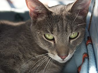 Domestic Shorthair Cat for adoption in LaGrange, Kentucky - Maggie
