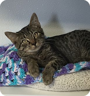 Domestic Shorthair Kitten for adoption in Greensburg, Pennsylvania - Skinner