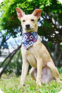 Labrador Retriever/Terrier (Unknown Type, Medium) Mix Puppy for adoption in Castro Valley, California - Saro