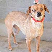 Chihuahua/Terrier (Unknown Type, Small) Mix Dog for adoption in Modesto, California - GRETCHEN (Sandy)