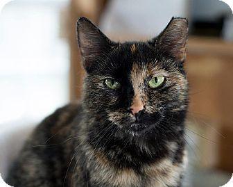 American Shorthair Cat for adoption in Unionville, Pennsylvania - Chloe