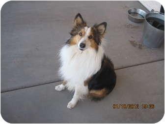 Sheltie, Shetland Sheepdog Dog for adoption in apache junction, Arizona - Wallie