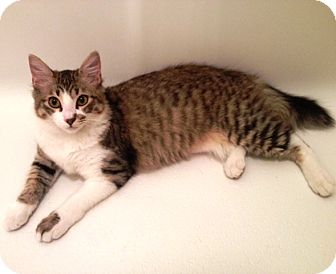 Domestic Longhair Cat for adoption in Houston, Texas - Chelsy
