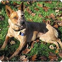 Adopt A Pet :: Belle - Siler City, NC