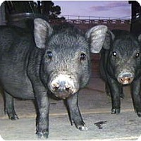 Adopt A Pet :: Percy and Pip Squeak - Las Vegas, NV