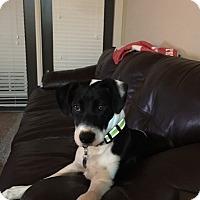 Adopt A Pet :: Boji - Homewood, AL