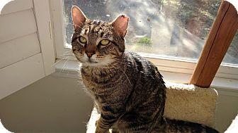 Domestic Shorthair Cat for adoption in Atlanta, Georgia - Kingsley