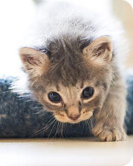 Domestic Shorthair Kitten for adoption in Houston, Texas - Dali