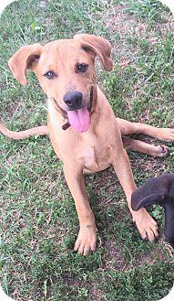 Australian Shepherd/Terrier (Unknown Type, Medium) Mix Puppy for adoption in WAGONER, Oklahoma - Dan