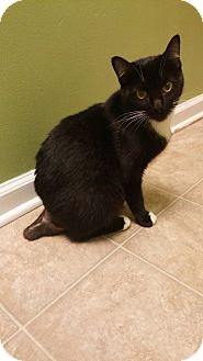 Domestic Shorthair Cat for adoption in Toledo, Ohio - Aoife