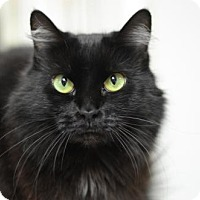 Domestic Longhair Cat for adoption in Atlanta, Georgia - Puffy Mama 12263