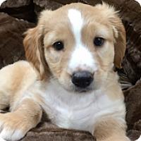 Adopt A Pet :: Steve - McKinney, TX