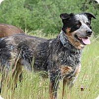Adopt A Pet :: Brody - Paso Robles, CA