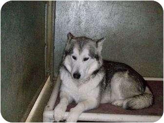 Alaskan Malamute Dog for adoption in Augusta County, Virginia - Kiera