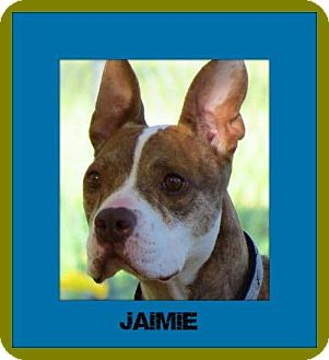 Boxer/American Pit Bull Terrier Mix Dog for adoption in Memphis, Tennessee - Jaimie