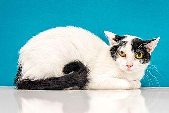 Domestic Mediumhair Cat for adoption in Chandler, Arizona - Lizzy
