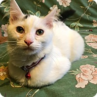 Adopt A Pet :: Tater AKA Sweet Potato - Chicago, IL