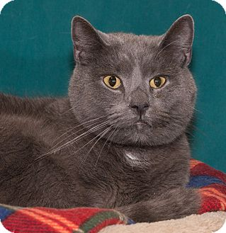 Russian Blue Cat for adoption in Elmwood Park, New Jersey - Napoleon