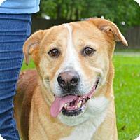 Labrador Retriever Mix Dog for adoption in Lafayette, Louisiana - Houston