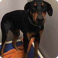 Adopt A Pet :: Velcro - Jupiter, FL