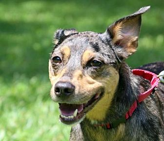 Australian Cattle Dog Mix Dog for adoption in Asheville, North Carolina - Pockets