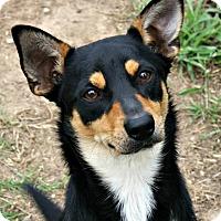 Adopt A Pet :: Razz - Richland Hills, TX