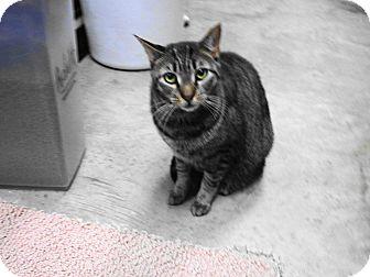 Domestic Shorthair Cat for adoption in Warminster, Pennsylvania - Jake