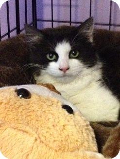 Domestic Longhair Kitten for adoption in Monroe, Georgia - Poppy