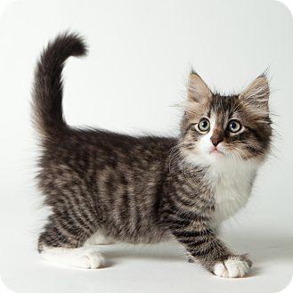 Hemingway/Polydactyl Kitten for adoption in Rockaway, New Jersey - Cuddles