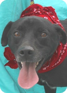 Labrador Retriever/Catahoula Leopard Dog Mix Dog for adoption in New Roads, Louisiana - Buddy