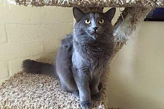 Domestic Mediumhair Cat for adoption in Scottsdale, Arizona - Marie