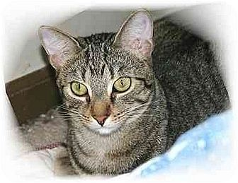 Domestic Shorthair Cat for adoption in Montgomery, Illinois - Joe