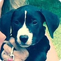 Adopt A Pet :: Max - Sinking Spring, PA