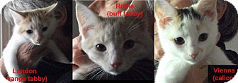 Domestic Shorthair Kitten for adoption in Colmar, Pennsylvania - Elverson Farm Sisters
