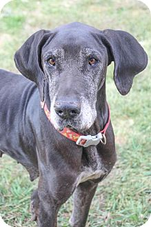 Great Dane Dog for adoption in Pipe Creed, Texas - Jenny